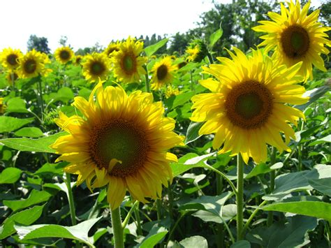 pictures world beautiful sunflowers