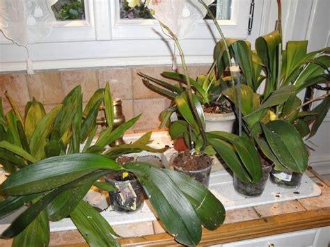 come mantenere le orchidee in vaso coltivare orchidee orchidee come coltivare le orchidee