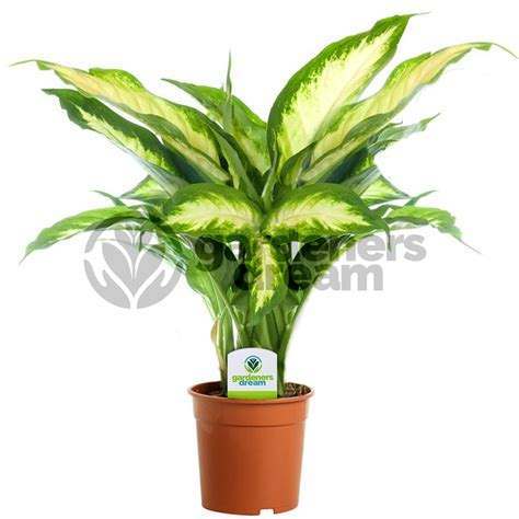 house plants uk gardenersdream indoor plant mix 3 plants house office live potted pot plant tree mix c