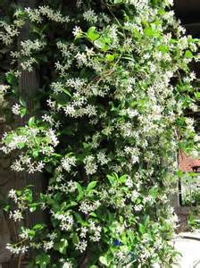 Best Climbing Vines For Pergolas by Types Of Fragrant Climbing Plants Hgtv