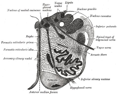 Transverse Section Of Medulla Oblongata by Medulla Oblongata