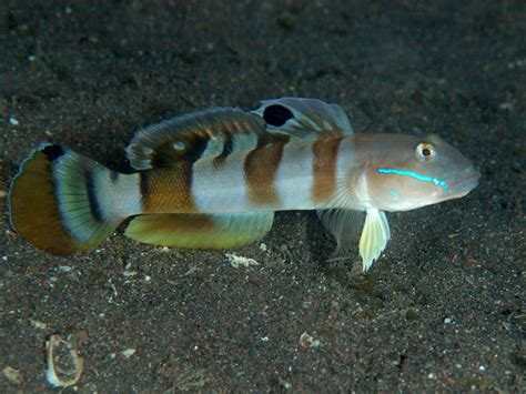 Tiger Sleeper Goby by Valenciennea