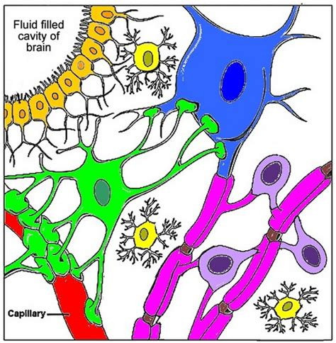 nerve cell coloring nerve cells coloring key