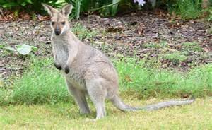 doodlebug kangaroo an orphaned baby kangaroo to hug his teddy