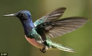 hummingbird s huge memory lets them remember the location