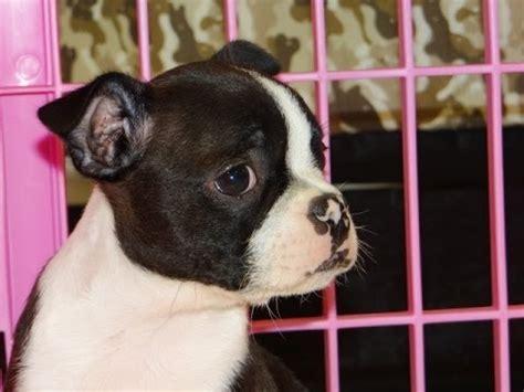 boston terrier puppies jacksonville fl boston terrier breeder jacksonville fl photo