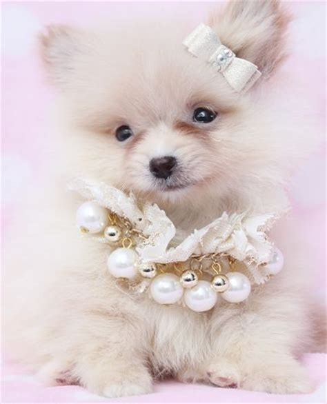 teacup pomeranians for sale in florida teacup pomeranian puppy for sale in south florida teacup pomeranian puppies for