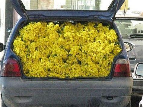 foto 8 marzo fiori 1 289 mazzi di mimose sequestrati oggi a bergamo ctrl