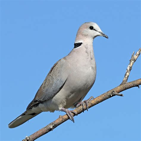 ring necked dove wikipedia