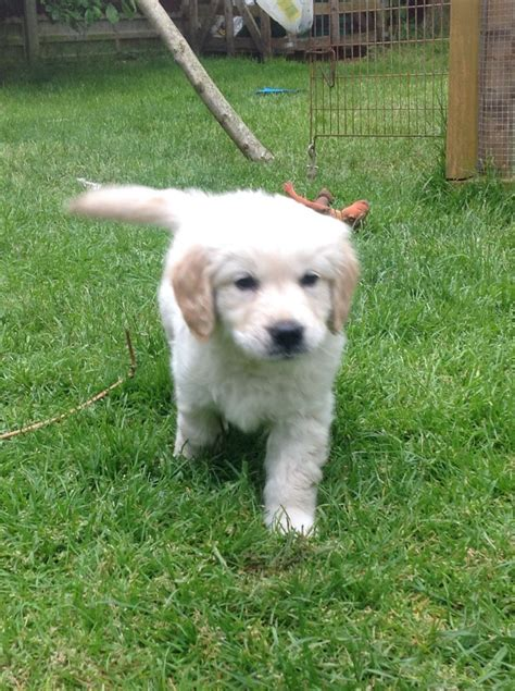 golden retriever puppies for sale kent chunky golden retriever puppies for sale canterbury kent pets4homes