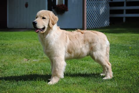 golden retrievers rochester ny rustic golden retrievers golden retrievers australian shepherds rochester ny