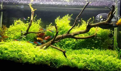 jenis tanaman aquascape bagus  akuarium tanaman