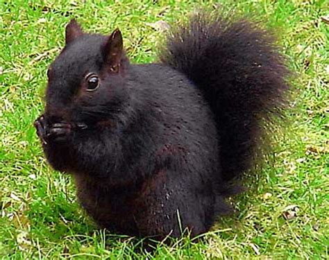 The Pack Of Mutant Black Squirrels That Are Giving Britain Black Squirrel