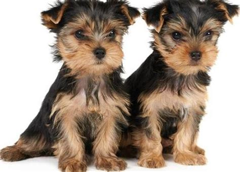 allergies in yorkies terriers is healthy and living breed this breed prone to some