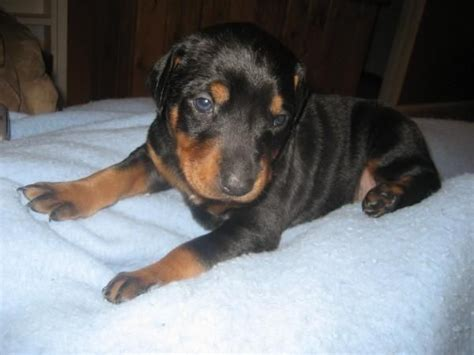 doberman puppies for adoption dogs puppies for sale ads free classifieds pdf