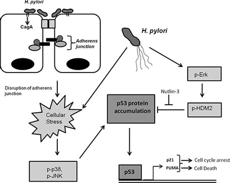 protein h pylori oncotarget helicobacter pylori bacteria alter the p53
