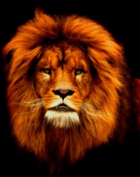 imagenes de leones en movimiento ஜ ஜ azulestrellla ஜ ஜ im 225 genes de grandes felinos