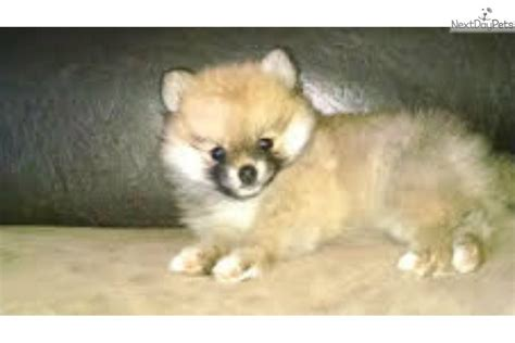 michigan pomeranian breeders pomeranian puppies available michigan pomeranian breeder design bild