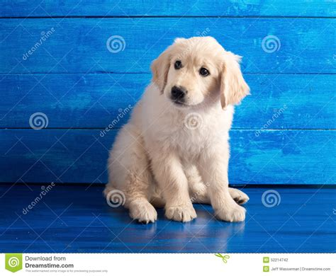 golden retriever with blue golden retriever puppy on blue wood stock photo image 52214742