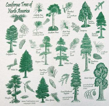 coniferous trees of north america reference pinterest