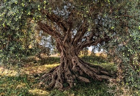 Wall Mural Map olive tree national geographic wall mural wallpaper