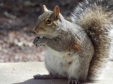 what to feed squirrels in backyard homemade squirrel food loving backyard squirrels
