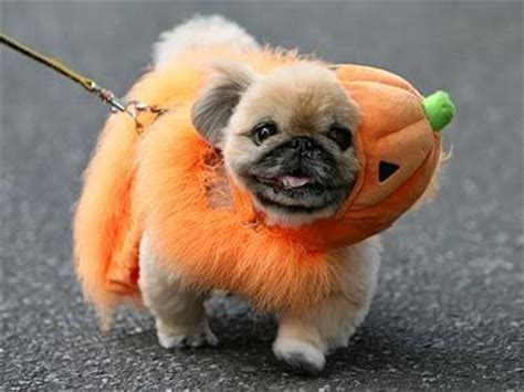 do pugs bark a lot 1000 images about pug mixed breeds on chugs frenchie pug and maltese