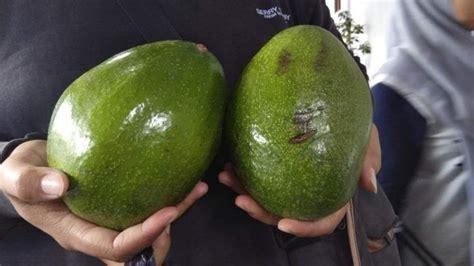 Bibit Alpukat Jogja gambar ternyata 7 buah sayur ukuran raksasa bakal bisa