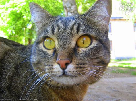 Cat Ct010 Brown Yellow yellow eyed brown mackerel tabbie sweet cat russian cats pictures