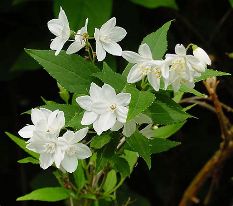 Simple Clock by Deutzia Gracilis Wikipedia
