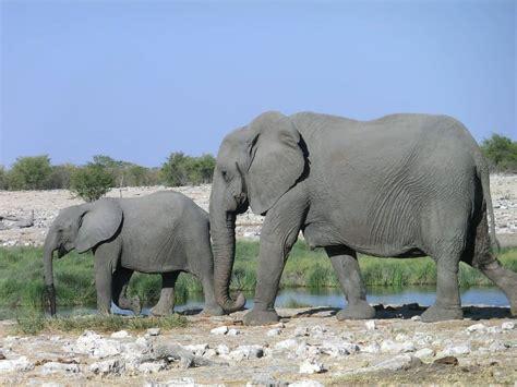 cutest baby elephant pictures  elephant world