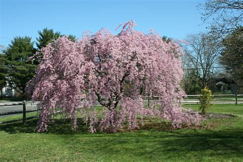 cherry tree weeping flowering archives affordable trees
