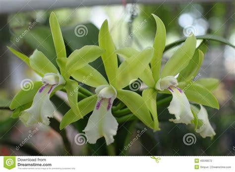 imagenes de orquideas verdes image gallery orquideas verdes