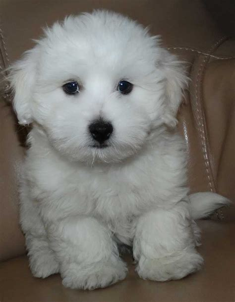 white puppy teddy puppies pictures