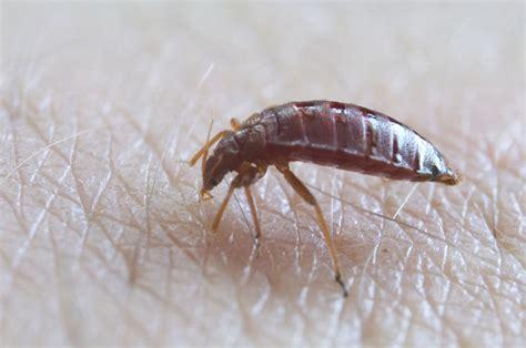bed bug wiki cimex lectularius bed bug acanthia lectularia