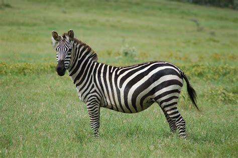 Grant's zebra - Wikiwand