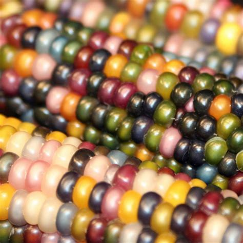 100pcs sweet rainbow black white yellow indian corn seeds organic glass gem corn ebay