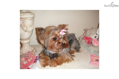 teacup yorkie adults terrier yorkie puppy for sale near arizona bbf9cbc2 64d1