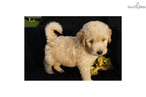 ginger doodle ginger doodle puppy meet ginger a cute goldendoodle puppy