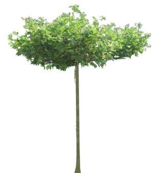 Baumkrone Schneiden Kosten by Baum Platane Platanus Staffageobjekte Archinoah