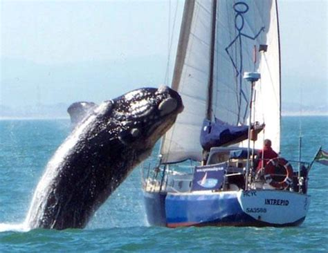 sailboat accident whale crashed boat photos abc news