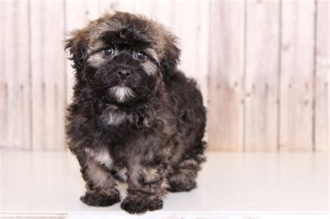 mt havanese best 25 havanese puppies for sale ideas on havanese for sale havanese