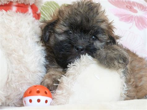 shih poo puppies stunning shih poo puppies stourbridge west midlands pets4homes