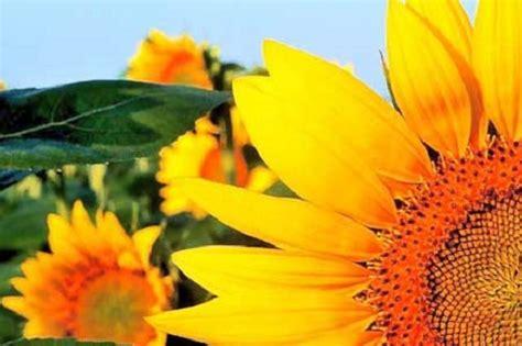 significato girasole fiore significato dei fiori il girasole pollicegreen