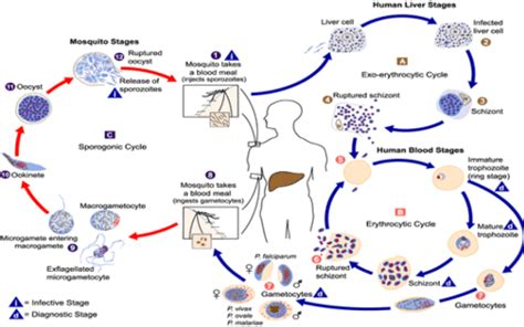 ammoniaca alimentare malaria scheda malattia e sintomi cesmet