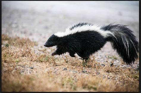 how to get rid of skunk smell in house 9 home remedies to get rid of skunk smell from home pets clothes