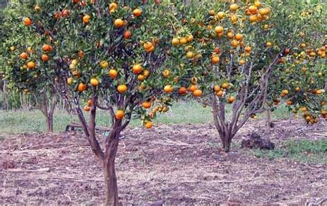 bibit bunga benih jeruk mandarin manis daftar harga
