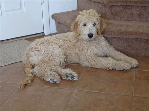 dogs with doodle in name goldendoodle goldendoodles and so on