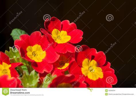 primula rossa fiore fiore rosso della primula immagini stock immagine 32206234
