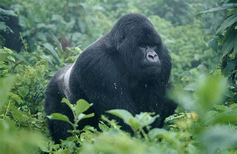 Eastern Gorilla | Wildlife | The Wildlife